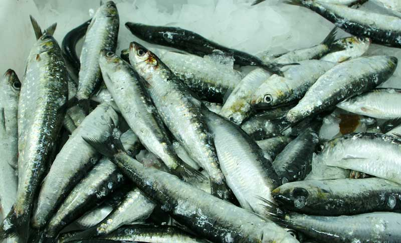 The sardine would be the economic foundation of the whole area.